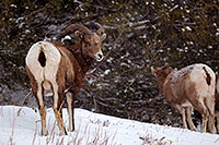 /images/133/2011-01-09-ouray-bighorns-47980.jpg - #09117: Bighorn Sheep by Ouray … January 2011 -- Ouray, Colorado