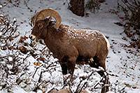 /images/133/2011-01-09-ouray-bighorns-47989.jpg - #09119: Bighorn Sheep by Ouray … January 2011 -- Ouray, Colorado