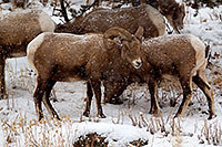 /images/133/2011-01-09-ouray-bighorns-48026.jpg - #09120: Bighorn Sheep by Ouray … January 2011 -- Ouray, Colorado