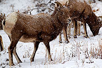 /images/133/2011-01-09-ouray-bighorns-48056.jpg - #09028: Bighorn Sheep by Ouray … January 2011 -- Ouray, Colorado