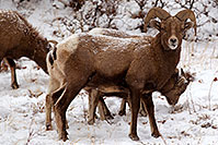 /images/133/2011-01-09-ouray-bighorns-48074.jpg - #09122: Bighorn Sheep by Ouray … January 2011 -- Ouray, Colorado