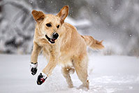 /images/133/2011-02-19-snowbowl-bella-snow-55847.jpg - Bella (English Golden)