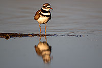 /images/133/2011-03-17-riparian-killdeer-59403.jpg - #09192: Killdeer at Riparian Preserve … March 2011 -- Riparian Preserve, Gilbert, Arizona