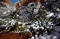 /images/133/2011-04-10-sedona-coffeepot-66324.jpg - #09235: Morning snow on Agave in Sedona … April 2011 -- Thunder Mountain, Sedona, Arizona