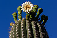 /images/133/2011-05-14-supers-flowers-68365.jpg - #09237: Blooming Saguaro in Superstitions … May 2011 -- Superstitions, Arizona