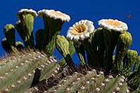 /images/133/2011-05-14-supers-flowers-68398.jpg - #09238: Blooming Saguaro in Superstitions … May 2011 -- Superstitions, Arizona