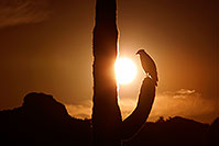 /images/133/2011-05-21-supers-sunset-bird-71230.jpg - #09300: Sunset in Superstitions … May 2011 -- Superstitions, Arizona