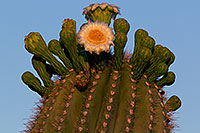 /images/133/2011-05-22-supers-flowers-71279.jpg - #09302: Saguaro flowers in Superstitions … May 2011 -- Superstitions, Arizona