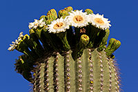 /images/133/2011-05-22-supers-flowers-71312.jpg - #09278: Saguaro flowers in Superstitions … May 2011 -- Superstitions, Arizona