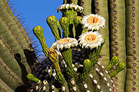 /images/133/2011-05-22-supers-flowers-71320.jpg - #09304: Saguaro flowers in Superstitions … May 2011 -- Superstitions, Arizona