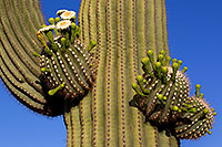 /images/133/2011-05-22-supers-flowers-71327.jpg - #09305: Saguaro flowers in Superstitions … May 2011 -- Superstitions, Arizona