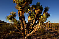 /images/133/2011-06-14-yoshua-trees-76825.jpg - #09380: Joshua Tree Highway … June 2011 -- Joshua Tree Highway, California