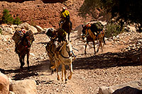 /images/133/2011-06-24-havasu-canyon-78900.jpg - #09418: Pack horses along Havasupai Trail … June 2011 -- Havasupai Trail, Havasu Falls, Arizona