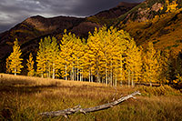 /images/133/2011-09-29-maroon-trees-log-102018.jpg - #09558: Log and yellow Aspen trees in Maroon Bells, Colorado … September 2011 -- Maroon Bells, Colorado