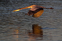 /images/133/2011-11-14-riparian-great-118160.jpg - #09781: Great Blue Heron in flight at Riparian Preserve … November 2011 -- Riparian Preserve, Gilbert, Arizona