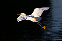 /images/133/2011-11-15-riparian-snowy-118410.jpg - #09782: Snowy Egret in flight at Riparian Preserve … November 2011 -- Riparian Preserve, Gilbert, Arizona
