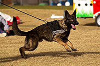 /images/133/2012-01-21-havasu-police-dogs-143978.jpg - #10120: Thor the Police Dog [Dutch Shepherd] in Lake Havasu City, Arizona … January 2012 -- Lake Havasu City, Arizona