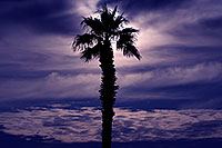 /images/133/2012-01-22-havasu-palm-tree-144162.jpg - #10130: Palm Tree in Lake Havasu City, Arizona … January 2012 -- Lake Havasu City, Arizona