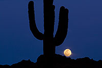 /images/133/2012-03-07-supers-blue-moon-06-147204.jpg - #10164: Moon behind Saguaro cactus in Superstitions … March 2012 -- Lost Dutchman State Park, Superstitions, Arizona