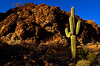 /images/133/2012-03-14-supers-cactus-lone-148710.jpg - #10172: Saguaro in the evening in Superstitions … March 2012 -- Apache Trail Road, Superstitions, Arizona