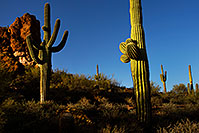 /images/133/2012-03-27-supers-cactus-151186.jpg - #10195: Saguaro Cactus in Superstitions … March 2012 -- Superstitions, Arizona