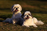 /images/133/2012-09-23-fhills-bnb-1d4_2951.jpg - #10227: Barney and Bentley (Shih Tzus) in Fountain Hills … September 2012 -- Fountain Hills, Arizona