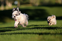 /images/133/2012-10-13-fhills-bnb-1dx_1612.jpg - #10271: Barney and Bentley (Shih Tzus) in Fountain Hills … September 2012 -- Fountain Hills, Arizona