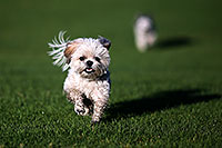 /images/133/2012-10-13-fhills-bnb-1dx_2004.jpg - #10273: Barney and Bentley (Shih Tzus) in Fountain Hills … September 2012 -- Fountain Hills, Arizona