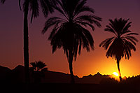 /images/133/2013-01-19-havasu-balloons-palms-20740.jpg - #10732: Palm Trees at sunrise at Lake Havasu… January 2013 -- Lake Havasu City, Arizona