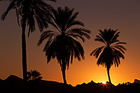 /images/133/2013-01-20-havasu-balloons-palms-21307.jpg - #10754: Palm Trees at sunrise at Lake Havasu… January 2013 -- Lake Havasu City, Arizona