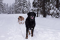 /images/133/2013-03-09-flagstaff-booda-dudle-29548.jpg - #10880: Booda and Dudley in snow in Flagstaff … March 2013 -- Flagstaff, Arizona