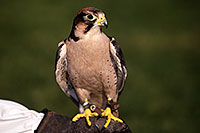 /images/133/2013-03-23-apj-ren-falcon-31211.jpg - #10896: Lanner Falcon at Renaissance Festival 2013 in Apache Junction … March 2013 -- Apache Junction, Arizona
