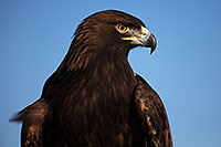 /images/133/2013-03-24-apj-ren-eagle-33056.jpg - #10945: Golden Eagle at Renaissance Festival 2013 in Apache Junction … March 2013 -- Apache Junction, Arizona