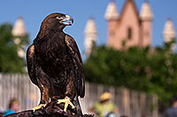 /images/133/2013-03-24-apj-ren-hawks-32309c.jpg - #10954: Golden Eagle at Renaissance Festival 2013 in Apache Junction … March 2013 -- Apache Junction, Arizona