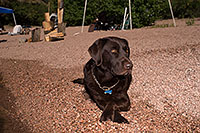 /images/133/2013-04-27-apache-lake-dood-37189.jpg - #11067: Dood (Chocolate Lab) at Apache Lake … April 2013 -- Apache Lake, Superstitions, Arizona