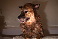 /images/133/2013-04-28-booda-shower-37323.jpg - #11070: Booda after a bath … April 2013 -- Mesa, Arizona