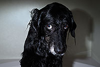 /images/133/2013-04-28-dudley-shower-37335.jpg - #11071: Dudley after a bath … April 2013 -- Mesa, Arizona