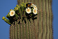 /images/133/2013-05-16-apache-saguaro-bird-41385.jpg - #11099: Bird on a Saguaro flower in Superstitions … May 2013 -- Apache Trail Road, Superstitions, Arizona