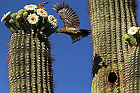 /images/133/2013-05-16-apache-woodp-41596.jpg - #11101: Flying female Woodpecker and stationary male at Saguaro flowers in Superstitions … May 2013 -- Apache Trail Road, Superstitions, Arizona