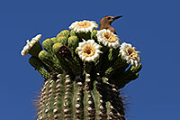 /images/133/2013-05-16-apache-woodp-41684.jpg - #11103: Male Woodpecker with a red marking on his head at Saguaro flowers in Superstitions … May 2013 -- Apache Trail Road, Superstitions, Arizona