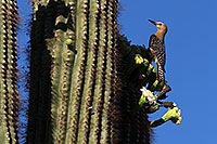 /images/133/2013-05-22-supers-woodpecks-1dx_0324.jpg - 11188: Woodpecker on a Saguaro … May 2013 -- Apache Trail Road, Superstitions, Arizona
