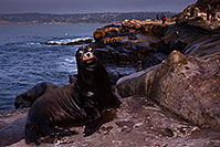 /images/133/2014-01-04-lajolla-seal-5d3_8809.jpg - #11504: Sea Lions in La Jolla, California … January 2014 -- La Jolla, California