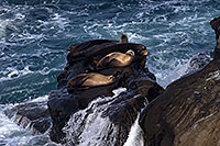 /images/133/2014-01-04-lajolla-seals-1x_21267.jpg - #11506: Sea Lions on a rock in La Jolla, California … January 2014 -- La Jolla, California