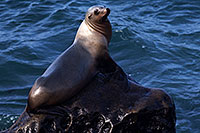 /images/133/2014-01-04-lajolla-seals-1x_21398.jpg - #11507: Sea Lion on a rock in La Jolla, California … January 2014 -- La Jolla, California