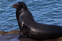 /images/133/2014-01-04-lajolla-seals-1x_21477.jpg - #11508: Sea Lion on a rock in La Jolla, California … January 2014 -- La Jolla, California