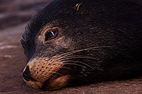 /images/133/2014-01-04-lajolla-seals-1x_21539.jpg - #11509: Sea Lion on a rock in La Jolla, California … January 2014 -- La Jolla, California