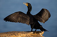 /images/133/2014-01-05-lajolla-cormorants-1x_22638.jpg - Birds > Cormorants