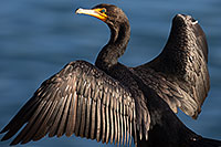 /images/133/2014-01-05-lajolla-cormorants-1x_22899.jpg - #11522: Double Crested Cormorant in La Jolla, California … January 2014 -- La Jolla, California