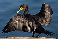/images/133/2014-01-05-lajolla-cormorants-1x_22990.jpg - #11524: Double Crested Cormorant in La Jolla, California … January 2014 -- La Jolla, California