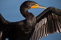 /images/133/2014-01-05-lajolla-cormorants-1x_23040.jpg - #11525: Double Crested Cormorant in La Jolla, California … January 2014 -- La Jolla, California